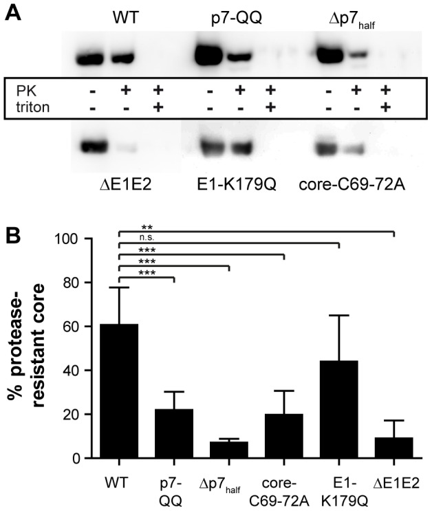 Assembly of the p7 mutants is impaired prior to capsid envelopment. WT-Jc1- or mutant-transfected detergent-free cell lysates were subjected to a proteolytic digestion protection assay as follows. Lysates were separated into three aliquots which received different treatments: (i) left untreated, (ii) treated with 50 µg/ml proteinase K for 1 h on ice, or (iii) lysed in 5% Triton X-100 prior to proteinase K treatment (condition used for background correction). The amount of protease-resistant core was determined by Western Blot and ELISA. (A) Representative Western Blot stained for HCV core. (B) Western Blot signal intensities were quantified with LabImage 1D and values obtained for the proteinase K-treated sample were background-corrected and normalized to untreated control. Mean values and standard deviations of 3–6 independent experiments are shown.