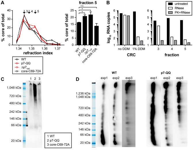 Mutations in p7 affect capsid assembly. (A) WT-Jc1 or mutant-transfected cells were harvested 48 h post-transfection. Cell lysates were subjected to rate zonal density gradient centrifugation in the presence of non-ionic detergent (1% DDM) and core protein amounts along the gradient were measured by ELISA. Fractions 3 to 5 are highlighted with black arrows. The right panel shows the core amount relative to total core expression for fraction 5. (B) RNase digestion protection assay (see Materials and Methods ). Fractions 3 to 5 of the WT-Jc1 gradient were subjected to RNase digestion or left untreated. As a background control, samples were treated with proteinase K to remove protecting capsids, prior to RNase treatment. The amount of residual HCV RNA was quantified by qRT-PCR. In parallel crude HCV replication complexes (CRCs) were prepared by the method described by Quinkert et al. [62] . CRCs were then subjected to RNase treatment as described above. To mimic conditions of the sedimentation 1% DDM was added. (C) Separation of core complexes by blue-native-PAGE (4–16% gradient gel). (D) Two-dimensional gel electrophoresis of core complexes. Cell lysates were separated by blue native-PAGE (3–12% gradient gel) in a first electrophoresis and by SDS-PAGE in the second dimension. The results of three independent experiments are shown side by side. Gel pictures are shown vertically for easier comparison with the blue-native-PAGE results. (C, D) Core protein was detected by Western Blotting and subsequent immunodetection with the core-specific monoclonal antibody C7-50.
