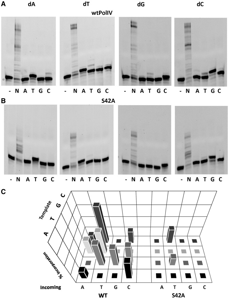 Fidelity profile of wt PolIV and the mutant Ser42Ala. The results for primer extension assay wherein wtPolIV ( A ) or the Ser42Ala mutant ( B ) was incubated with DNA duplexes (T A P*, T T P*, T G P* and T C P*) and different dNTPs are displayed. (B) 3D plot exhibiting the misincorporation profile of wtPolIV and the mutant. Incorporation was quantitated in the form of percentage of primer extended. The level of incorporation of the incorrect nucleotide is plotted on the z -axis for different template nucleotides (dA, dT, dG and dC; y -axis), for all four incoming nucleotides (dATP, dTTP, dGTP and dCTP; x -axis) for the two proteins (wtPolIV and Ser42Ala; x -axis).