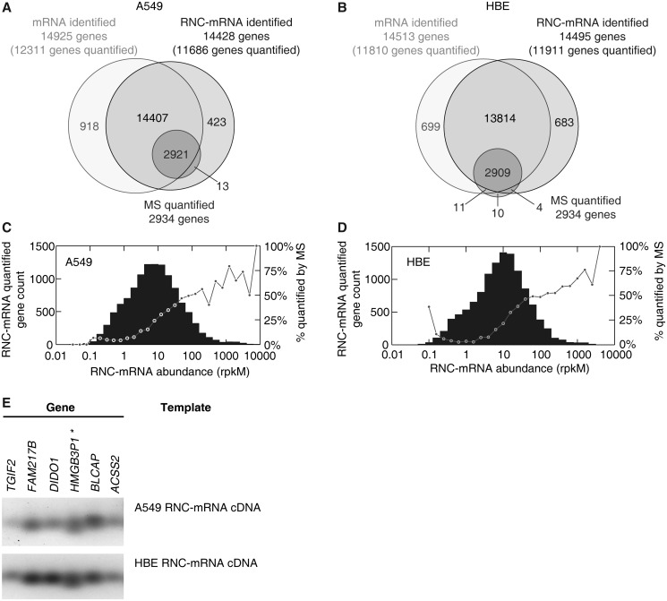 Gene identification in translatome and transcriptome sequencing, in comparison with SILAC-based mass spectrometry. ( A and B ) Number of genes and proteins identified with RNA-seq (lighter circles) and MS (dark circle), respectively, in A549 cells (A) and HBE cells (B). ( C and D ) <t>RNC-mRNA</t> abundance distribution in A549 cells (C) and HBE cells (D). Genes were step-wise classified, based on abundances of quantified RNC-mRNA. Each bar indicates gene number of detection in its respective category. In each category, the percentage of the number of MS quantifiable protein to the number of genes that are detected by RNC-mRNA sequencing is shown with a dot. ( E ) Validation of gene detection in RNC-mRNA, extracted from A549 and HBE cells, respectively. Six randomly selected genes were subjected to RT-PCR assays and indicated by HGNC gene names.