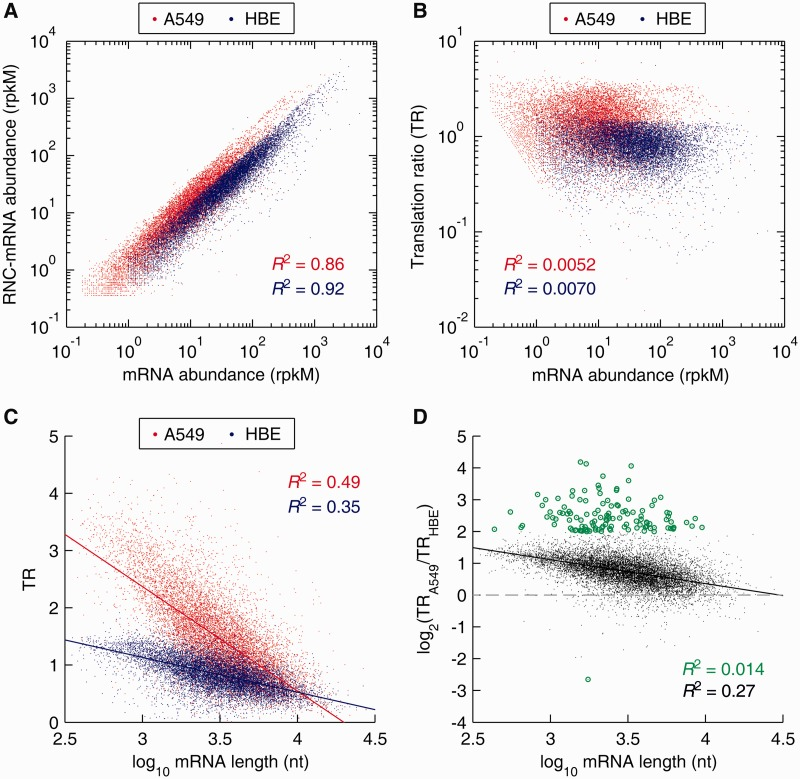Distribution and correlation analysis of mRNA TRs, comparing A549 cells with HBE cells. ( A ) Correlation of mRNA and RNC-mRNA abundances in A549 and HBE cells, respectively. ( B ) Correlation of mRNA ratio (A549/HBE) and RNC-mRNA ratio (A549/HBE). ( C ) Correlation of TRs and mRNA lengths. ( D ) Correlation of TR fold changes (A549/HBE) and mRNA lengths. The genes with TR ratio changes greater than 4 folds are indicated by green dots.