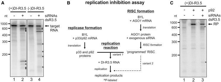 Antiviral RNA silencing with a virus-derived siRNA pool. ( A ) 'RISC formation/cleavage assay' with DI-R3.5 RNA. A pool of siRNAs was generated by RNase III (ShortCut®) cleavage of dsR3.5 RNA. Using BYL where AGO1 was overexpressed by in vitro translation, RISC was formed with this siRNA pool. 32 P-labeled (+) or (−)DI-R3.5 RNA transcripts were added to the extract that contained the programmed RISC, and the reaction products were subsequently analyzed by denaturing PAGE and autoradiography (lanes 2 and 4). The analogous experiments performed with a non-related ('gf698') siRNA served as negative controls (lanes 1 and 3). The positions of the labeled target RNAs are indicated; most prominent cleavage products are indicated by asterisks. ( B ) Schematic representation of the in vitro 'replication inhibition assay'. A BYL reaction mixture that contained in vitro translated AGO1 and RISC that was 'programmed' with the siRNA(s) of choice was added to a second BYL reaction mixture that contained the in vitro translated TBSV replicase proteins p33 and p92. In experimental 'variant 1', RNA replication was initiated by combining both reactions and by the subsequent addition of replication mix and DI-R3.5 RNA template. In experimental 'variant 2', the mixture that contained the programmed RISC was added at a later time point to the replication reaction ( Figure 4 E). ( C ) 'replication inhibition assay'. The reaction described in (B) was performed with (+)DI-R3.5 RNA. Lane 1; in the absence of p92 (no replication). Lane 2; with an unrelated ('gf698') siRNA (negative control). Lane 3; with the dsR3.5-generated vsiRNA pool. The RNA replication products (RP) are indicated, as well as the most prominent RNA cleavage products (asterisks).
