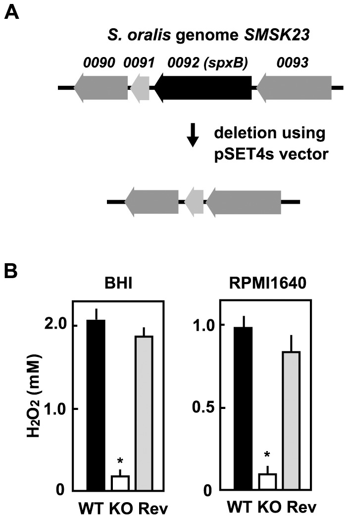 Construction of S. oralis spxB deletion mutant. (A) Black arrow indicates the gene encoding pyruvate oxidase (SMSK23_0092 spxB). A targeted deletion mutant lacking this region was constructed by allelic exchange using the temperature-sensitive shuttle vector pSET4s. (B) S. oralis ATCC35037 wild-type (WT), spxB-deletion mutant (KO), or reverse mutant (Rev) was cultured in BHI broth or 5% <t>RPMI1640</t> medium at 37°C for 18 h in a 5% CO 2 atmosphere. Concentrations of H 2 O 2 in culture supernatants were quantitatively determined using a hydrogen peroxide colorimetric detection kit. Data are shown as the mean ± SD of triplicate samples. *p