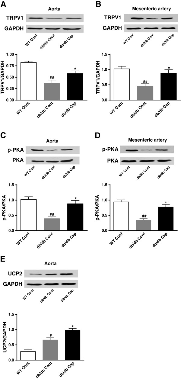 TRPV1 activation by dietary capsaicin promotes endothelial PKA phosphorylation and increases UCP2 levels in diabetic mice. Representative protein expression of TRPV1 ( A and B ), p-PKA/PKA ( C and D ) and UCP2 ( E ) levels in aorta or mesenteric arteries from db/db mice treated with normal diet (db/db Cont) or normal diet plus 0.01% capsaicin (db/db Cap) and the lean littermate control C57BL/KsJ mice treated with normal diet (WT Cont). Data are mean ± SEM. Each n = 3. ## P