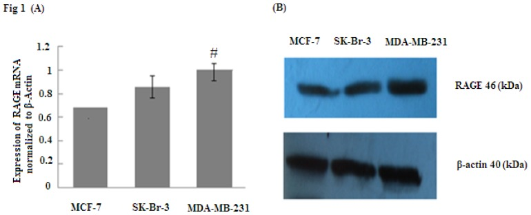 RAGE mRNA and protein expression (normalized to β-actin expression) in MCF-7, SK-Br-3, MDA-MB-231 cell lines analyzed by ( A ) qRT-PCR and ( B ) Western Blot. The results indicate that RAGE expression in MDA-MB-231 was significantly higher than in MCF-7 and SK-Br-3; (# p
