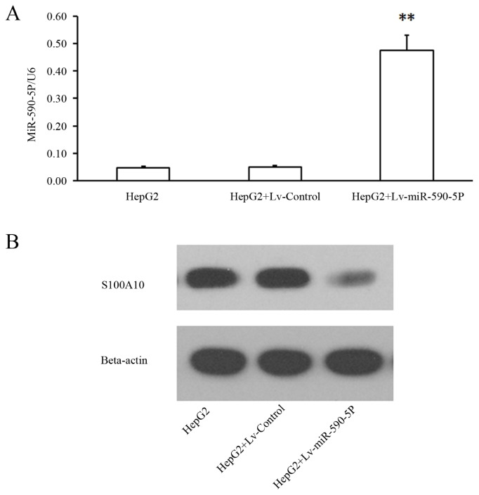 S100A10 is down-regulated by infection of Lv-miR-590-5P. ( A ) HepG2 cells were infected with Lv-control or Lv-miR-590-5P. After 96 h, the cells were collected and total RNA was extracted and subjected to quantitative PCR. U6 was used as an internal standard; ( B ) HepG2 cells were infected with Lv-control or Lv-miR-590-5P, and after 96 hours, the cells were collected and total protein was extracted and subjected to western blotting. For western blotting, cell lysates were separated on a 14% (S100A10) or 13% <t>(beta-actin)</t> SDS polyacrylamidegel, and the blots were detected with a specific anti-S100A10 antibody, with beta-actin as an internal standard **, t -test significant at p