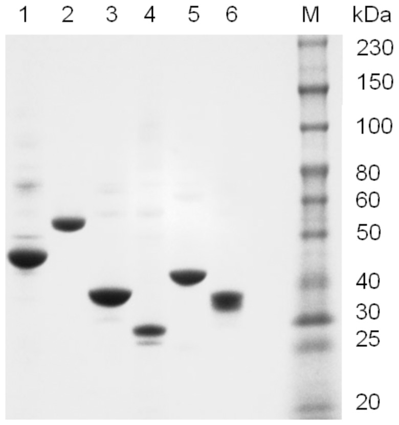 SDS-PAGE of purified methyltransferases. Lane M is the ColorPlus protein ladder (NEB # P7710). Lane 1: M.MspI, Lane 2: M.AluI, Lane 3: M.EcoRI, Lane 4: M.EcoKDam, Lane 5: M.HpaII, and Lane 6: M.HaeIII.