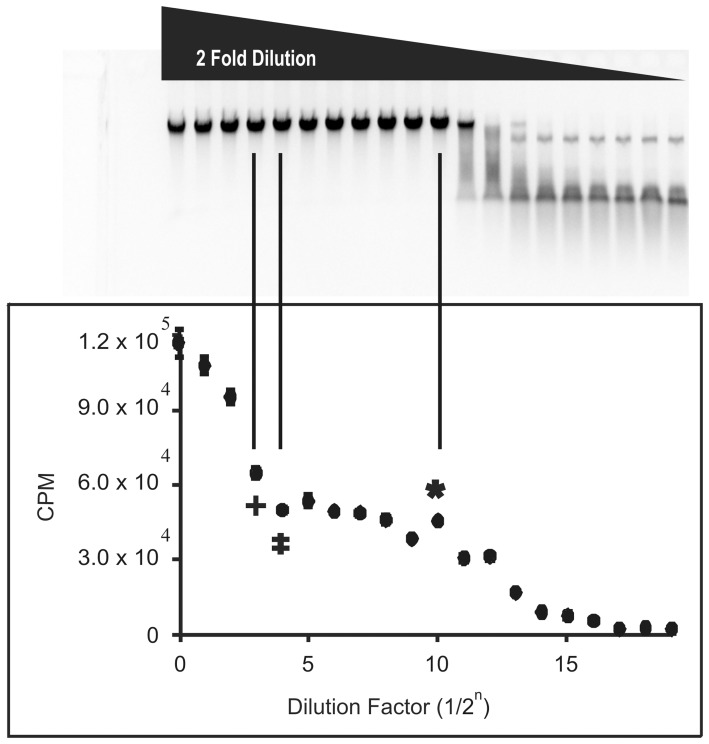 Comparison of a restriction enzyme digestion protection assay and radioactive methylation assay with λ DNA. Both assays were performed using a two-fold dilution series of M.HhaI. The top portion of the figure represents the extent of protection exhibited by M.HhaI against HhaI RE digestion. The bottom portion of the figure shows the amount of H 3 -methyl incorporation by M.HhaI. The X-axis represents the dilution factor of the M.HhaI, where 0 is the highest concentration of enzyme and corresponds to the highest amount of H 3 -methyl incorporation. In contrast, a dilution factor of 19 represents the lowest concentration and enzyme and corresponds to base level H 3 -methyl incorporation. The asterisk designates the LCF, the double dagger designates the HCN, and the plus sign represents the point at which star activity occurs. Upon comparing the same dilution factors from both assays, both can determine the point at which complete methylation of the cognate site occurs. However, there is an apparent increase in H 3 -methyl incorporation after complete methylation of the cognate site at dilution factor 1/2 3 in the radioactive methylation assay, indicating the presence of star activity, but there is no observable difference on the gel at the same dilution factor in the protection assay.