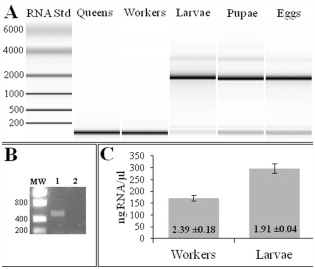 (A) Microfluidic analyses of total RNA prepared from different life stages of Nylanderia pubens by the Trizol method. RNA standards and their corresponding sizes are provided in the left-most column. (B) PCR of a portion of the N. pubens ubiquin gene. DNase-treated RNA (from panel A) of larvae (lane 1 ) and adults (lane 2) was reverse transcribed and subsequently amplified by PCR. MW = molecular weight markers. Sizes shown on the left. (C) Results of spectrophotometric analysis of the RNA preparations from workers and larvae from the upper panel on an ND-1000 spectrophotometer. Standard deviation values are indicated by error bars. The mean 260:280 nm ratio is provided for each life stage within the bar. High quality figures are available online.