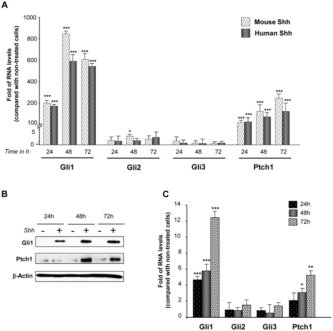 Lung fibroblasts respond to Shh treatment. Mouse lung fibroblasts CCL206 were treated or not with 500 ng/ml of recombinant mouse Shh or 500 ng/ml of human Shh for 24, 48 and 72 hours. ( A ) mRNA levels of Gli1, Gli2, Gli3 and Ptch1 upon treatment were assessed by RT-qPCR. Results are presented as fold of differences in mRNA levels (2 ∧∧ Ct) of treated cells compared with non-treated cells for each time point. *p