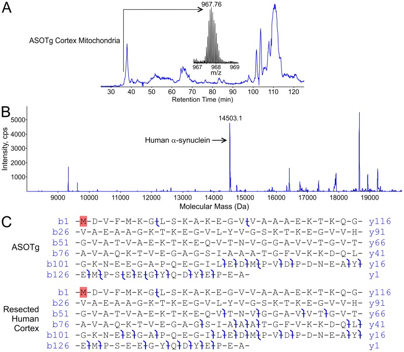 N-terminally acetylated full-length human α-synuclein was the major isoform detected in a ASOTg cortex mitochondrial fraction and in human brain by top-down high-resolution mass spectrometry. A. Total <t>ion</t> chromatogram is shown for the primary separation and the ion-isolation mass spectrum (m/z 967.76) of a candidate full-length α-synuclein of mass 14503.1 Da found in the 37-minute fraction for a ASOTg cortex mitochondrial fraction (500 µg). B. Static nano-electrospray and MSMS displays peaks of various intensities for the average mass spectrum in the same 37-minute fraction (arrow, unmodified human α-synuclein sequenced in panel C). No masses corresponded to known PTMs for human α-synuclein, e,g, nitration, phosphorylation or ubiquitination. C. <t>Hybrid</t> <t>linear</t> <t>ion-trap</t> <t>FT-MS</t> (LTQ-FT) generates high resolution map of product ions formed upon collisionally activated dissociation (CAD) of the m/z 967 precursor, matched at 10 ppm tolerance for confident assignment of the primary amino acid sequence of full-length human α-synuclein from ASOTg mouse (upper panel). Monoisotopic mass of human α-synuclein from ASOTg mouse was 14493.2591 Da (mean of 4 measurements on 4 different ions). A protein of similar mass was recovered from resected human brain and CAD of the m/z 1209 precursor gave a broadly similar product-ion map (lower panel). Monoisotopic mass of human α-synuclein from human brain was 14493.2592 Da (mean of 2 measurements on 2 different ions). The probability that either species analyzed was incorrectly assigned was calculated to be 9.9×10 −31 (ASOTg) and 4.4×10 −43 (human brain) using the ProsightPC algorithm at a tolerance of 10 ppm. Note that the top-down approach yields several product ions in the C-terminal region that was poorly covered in the bottom-up experiment (Fig. 6). The species analyzed is shown with N-terminal acetylation of starting methionine (in red) yielding agreement of measured and calculated masses within 10 pp