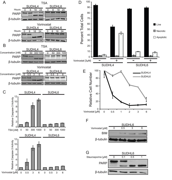 Trichostatin A and vorinostat induce apoptosis and inhibit growth in a time- and dose-dependent manner. ( A ) SUDHL4 and SUDHL6 cells were treated with either 300 nM TSA or 3 µM vorinostat for the indicated times. Whole-cell extracts were made, and Western blotting for PARP and β-tubulin (as a normalizing control) was performed. ( B ) SUDHL4 and SUDHL6 cells were treated for 14 h with the indicated concentrations of either TSA or vorinostat. PARP cleavage and β-tubulin levels (as a normalizing control) were assessed by Western blotting of whole-cell extracts. ( C ) Relative caspase-3 activity was measured in cells treated for 14 h with either TSA or vorinostat as indicated. The values represent the average relative fluorescence of three independent assays as compared to untreated samples (1.0). Error bars indicate standard error. ( D ) SUDHL4 and SUDHL6 cells were treated with 3 µM vorinostat for 14 h, cells were stained with acridine orange and ethidium bromide, and counted for live (black bars), necrotic (grey bars), and apoptotic (white bars) cells (see Materials and Methods ). Each value is the average of three independent experiments and error bars indicate standard error. ( E ) Growth inhibition by vorinostat was assessed by treating SUDHL4 and SUDHL6 cells with increasing concentrations of vorinostat for 72 h, and cells were then counted using a hemocytometer. The relative numbers of cells are percentages as compared to cells grown for the same amount of time in the absence of vorinostat. The results are the averages of three separate treatment samples. Error bars indicate standard deviation. ( F ) SUDHL6 cells were treated with the indicated concentrations of vorinostat for 4 h. BIM and β-tubulin (as a normalizing control) were detected by Western blotting of whole-cell extracts. ( G ) SUDHL6 cells were treated for 24 h with the indicated concentrations of staurosporine. PARP cleavage and β-tubulin (as a normalizing control) were assessed by Western blotting of whole-cell extracts.