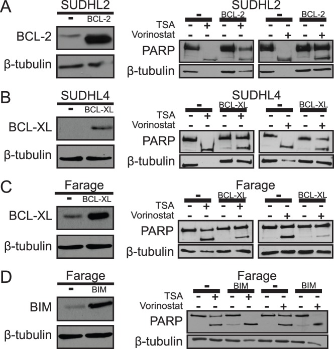 HDACi sensitivity is decreased by over-expression of BCL-2 or BCL-XL and increased by over-expression of BIM. Creation of four independent cell lines (SUDHL2 cells over-expressing BCL-2, SUDHL4 cells over-expressing BCL-XL, Farage cells over-expressing BCL-XL, and Farage cells over-expressing BIM) was confirmed by Western blotting for BCL-2, BCL-XL, and BIM ( A–D ) and compared to empty vector (–) transduced cells. β-tubulin was used as a normalizing control. ( A ) SUDHL2-BCL-2, ( B ) SUDHL4-BCL-XL, ( C ) Farage-BCL-XL, and ( D ) Farage-BIM cell lines were treated with either 300 nM TSA or 3 µM vorinostat for 24 h. Whole-cell extracts were made and Western blotting for PARP cleavage and β-tubulin (as a normalizing control) was performed. All cells over-expressing the protein of interest were compared to empty vector (–) transduced control cells.