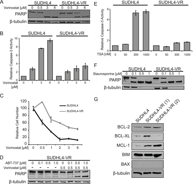SUDHL4 cells selected for vorinostat resistance show decreased sensitivity to vorinostat-induced apoptosis and cell proliferation inhibition. ( A ) SUDHL4 and SUDHL4-VR cells were treated for 24 h with the indicated concentrations of vorinostat. PARP cleavage and β-tubulin (as a normalizing control) were assessed by Western blotting of whole-cell extracts. ( B ) Relative caspase-3 activity was measured in cells treated for 14 h with the indicated concentrations of vorinostat. The values represent the average relative fluorescence as compared to untreated samples (1.0) from three independent assays. Error bars indicate standard error. ( C ) Growth inhibition by vorinostat was assessed by treating SUDHL4-VR cells with increasing amounts of vorinostat for 72 h, and then counting cells using a hemocytometer. The relative numbers of cells are percentages as compared to cells incubated for the same amount of time in the absence of vorinostat. The results are the averages of three separate treatment samples. Error bars indicate standard deviation. ( D ) SUDHL4-VR cells were treated with the indicated concentrations of ABT-737 with and without a sub-optimal level (0.5 µM) of vorinostat. Whole-cell extracts were subjected to Western blotting for PARP cleavage and β-tubulin levels (as a normalizing control). ( E ) Relative caspase-3 activity was measured in cells treated for 14 h with TSA as indicated. The values represent the average relative fluorescence of three independent assays as compared to untreated samples. Error bars indicate standard error. ( F ) Cells were treated for 24 h with the indicated concentrations of staurosporine. PARP cleavage and β-tubulin (as a normalizing control) were assessed by Western blotting of whole-cell extracts. ( G ) Western blotting for the indicated BCL-2 family members in parental SUDHL4 cells and in two independent populations of SUDHL4-VR cells (1 and 2). β-tubulin was used as a protein loading control. The SUDHL4-VR(1) cell line was used for experiments in panels A–F.