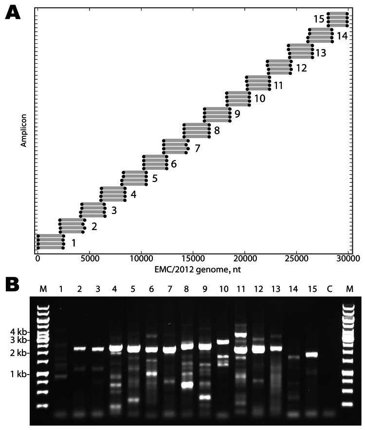 A) Primers designed for reverse transcription and overlapping PCR amplification of the novel coronavirus (CoV). Dots indicate the predicted binding site of each primer along the EMC/2012 genome (x-axis). Gray bars indicate predicted amplicon lengths. Amplicon numbers are indicated beside each set of products. B) PCR products (3 µL of a 25-µL reaction) were resolved by electrophoresis on a 0.6% agarose gel and visualized by ethidium bromide staining. Lane M is the molecular weight marker (sizes indicated at left), Lanes 1–15 show the products of the amplicons depicted in Panel A. Lane C is the reagent PCR control.