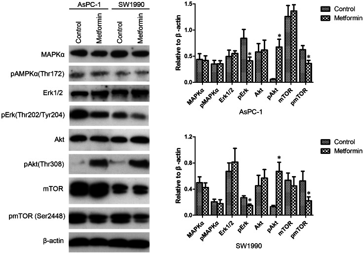 Low concentrations of metformin inhibited Erk and mTOR phosphorylation and increased Akt phosphorylation of CD133 + pancreatic cancer cells. Pancreatic cancer cells were treated with metformin for 4 h (0.2 mM for AsPC-1, 0.1 mM for SW1990) and CD133 + cells were sorted by flow cytometry. Expression of AMPKα, Akt, Erk1/2, and mTOR and phosphorylation of CD133 + cells were evaluated by western blotting and the results were quantified using ImageJ V.1.46r (National Institutes of Health). Significant decreases of phospho-ERK1/2 and phospho-mTOR expression and a significant increase of phospho-Akt expression were observed in the metformin treated cells. Error bars represent the standard deviation. * P