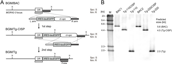 """Targeted insertion of a reporter gene. ( A ) In the first step, IRES-tauEGFP was inserted into the targeted site 3 bp downstream of the MOR42-3 stop codon by transformation with a purified DNA fragment consisting of L and R arms (1.0 kb each) homologous to MOR42-3 and the c I- spc selection cassette. In the second step, the selection cassette was removed by transformation with a fragment lacking the selection marker. ( B ) The targeted insertion of the reporter gene was confirmed by Southern blot analysis using an R homology region as a probe. The genomic DNA of each BGM clone was digested with BamHI and resolved by CHEF, and the changes in the sizes of the BamHI fragments were as expected, indicating the successful targeted insertion of IRES-tauEGFP . The sensitivity to antibiotics is shown. R, resistant; S, sensitive. The BamHI sites are represented by """"B"""". Lane M, lambda/HindIII fragments were used as a size marker."""