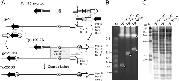 """The genetic fusion of the inverted Tg-110 and Tg-220 fragments to reconstruct the genomic structure of the MOR42-3 locus. ( A ) Schematic diagram of fusion of Tg-110-Inverted and Tg-220 fragments. The selection marker cassettes c I- bsr , consisting of the c I and blasticidin S resistance genes (depicted as c B), and c I- spc (depicted as c S) were inserted to the right end of the inverted Tg-110 and to the left end of Tg-220, respectively. 1.3 kb fragments in the left end of Tg-220 and in the right end of Tg-110-Inverted were used as homology arms. Genomic DNA was isolated from the bsr -labeled Tg-110 clone (Tg-110CIBS) and added to the spc -labeled Tg-220 competent cells (Tg-220CISP). The Tg-220 insert was extended to 252 kb by homologous recombination at the overlap region. ( B ) The fused Tg-250SB insert was evaluated by I-PpoI digestion followed by CHEF. Tg-250SB shows a larger band that corresponds to the fused insert fragment. The closed and open arrowheads represent bands from the 4.2 Mb BGM vector and inserts, respectively. ( C ) The structure of the Tg-250SB insert was confirmed by Southern blot analysis. Genomic DNA was digested with EcoRI and hybridized with Tg-110 and Tg-220 probes. The genetic fusion of the two inserts is shown as the sum of the respective Tg-250SB bands. The I-PpoI sites are represented by """"I"""". Lane M, <t>lambda/HindIII</t> fragments or a concatemer of lambda DNA was used as a size marker."""