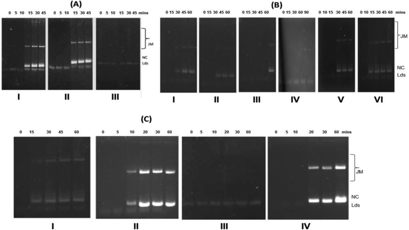 (A) Role of PfRPA1L and PfRPA1S during SSE activity of PfRad51. (I) PfRad51 and SSB. (II) PfRad51 and PfRPA1L. (III) PfRad51 and PfRPA1S. (B) PfRPA1S downregulates the function of PfRPA1L. (I) PfRad51, 0.5 μM PfRPA1L, and 0.5 μM PfRPA1S. (II) PfRad51, 0.5 μM PfRPA1L, and 0.75 μM PfRPA1S. (III) PfRad51, 0.5 μM PfRPA1L, and 1.0 μM PfRPA1S. (IV) PfRad51, 0.5 μM PfRPA1L, and 2.0 μM PfRPA1S. (V) PfRad51 and 0.5 μM PfRPA1S preincubated for 10 min, followed by addition of 0.5 μM PfRPA1L. (VI) PfRad51 and 0.5 μM PfRPA1S preincubated for 10 min, followed by addition of 1.0 μM of PfRPA1L. (C) Role of PfRad51, PfRPA1L, and PfRPA1S in the presence of the bacterial homologue RecA and SSB. (I) PfRad51, 0.5 μM SSB, and 0.5 μM PfRPA1S. (II) RecA and PfRPA1L. (III) RecA and PfRPA1S. (IV) RecA, 0.5 μM PfRPA1L, and 0.5 μM PfRPA1S. Aliquots were collected at time points (min) indicated above each lane and quenched with stop solution, and products were revealed on 1% TAE agarose gel, followed by EtBr staining. Lds, linear double-stranded DNA; NC, nicked circular dsDNA; JM, joint molecule. These figures are a representative assay of three biologically independent strand exchange assays.