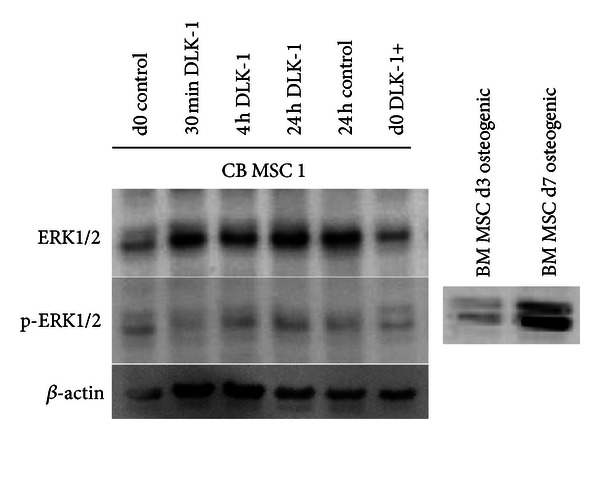 Regulations of <t>DLK-1</t> in human and mice are not the same. To evaluate mechanisms induced by DLK-1 in human CB MSC upon exposure to DLK-1/Pref1, Western Blot analysis of ERK1/2 and p-ERK1/2 was performed ( n = 3 experiments). CB MSC were treated with conditioned media of either the control cells or the DLK-1 overexpressing CB MSC. CB MSC (d0 control) and DLK-1 overexpressing CB MSC (d0 DLK+) were lysed and western blot analysis was performed applying full protein lysates after 30 minutes, 4 hours and 24 hours of incubation with conditioned media, respectively. ERK1/2 was already highly expressed in the non treated cells and remained expressed also in the cells treated. No DLK-1/Pref1 specific upregulation of p-ERK1/2 was detected in the CB MSC. As biological positive control, osteogenic differentiated (day 3 after induction) BM MSC were used. Internal loading control: β -actin.