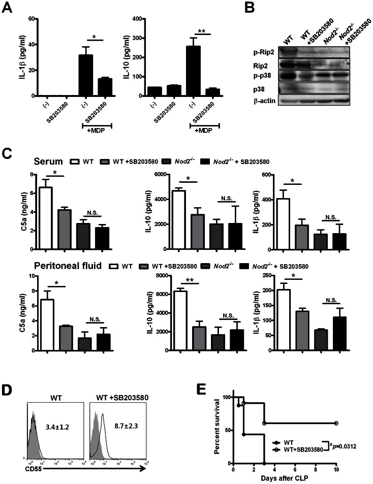 SB203580, an RIP2 inhibitor downstream of nucleotide-binding oligomerization domain (NOD)2, attenuates CLP-induced sepsis. (A) Peritoneal cells of WT mice were cultured with SB203580 and/or MDP for 24 h, and IL-1β and IL-10 concentrations were measured in culture fractions. (B) Molecules related to <t>NOD2-mediated</t> signal transduction were blotted using peritoneal cells obtained from WT and Nod2 −/− mice injected with SB203580 or PBS 24 h after CLP. (C) Serum and peritoneal IL-1β, IL-10, and C5a levels were estimated in WT (n = 4) and Nod2 −/− (n = 3) mice injected with SB203580 (n = 4 in WT, n = 3 in Nod2 −/− ) or PBS 24 h after CLP by ELISA. (D) The levels of CD55 expression on F4/80 − Ly6-G + cells from WT (n = 3) and WT mice injected with SB203580 (n = 3) were measured 24 h after CLP. (mean fluorescence intensity [MFI] of CD55 expression in the panels, diagrams filled with gray for istotype-matched control <t>IgG,</t> solid lines for CD55) (E) The percentages of surviving mice were estimated during CLP-induced sepsis ( a P = 0.0312, log-rank test, n = 6–8 per group; WT mice injected with SB203580 vs. PBS). *P