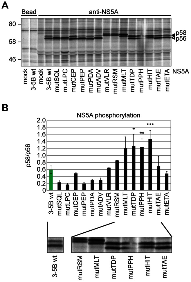 Reduced PI4KIIIα interaction and RNA replication deficiency correlate with relative increase of NS5A hyperphosphorylation. A: Huh7-Lunet T7 cells were transfected with plasmids encoding the NS3 to NS5B polyprotein of genotype 2a (JFH-1) containing a wt sequence or triple alanine mutants as indicated or with empty plasmid (mock). Newly synthesized proteins were radiolabeled and cell lysates subjected to immunoprecipitation using NS5A specific antibodies. Immunocomplexes were analyzed by SDS-PAGE and autoradiography. B: Quantitative analysis of the NS5A p58/p56 ratio. Bands corresponding to NS5A p58 and p56, respectively, as shown in panel A were individually quantified by phosphoimaging to obtain a p58/p56 ratio. Error bars indicate mean values +/− SD of two independent experiments analyzed in duplicates. Significance was compared to the wt polyprotein and calculated by a paired t-test. *, p