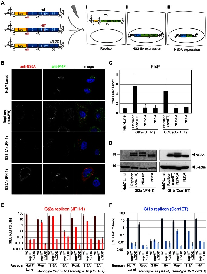 NS5A but not PI4P can transcomplement replication-deficient replicons with NS5A mutations affecting PI4KIIIα interaction. A: Experimental setup of transcomplementation experiments: Huh7-Lunet cells bearing either a persistent HCV replicon (I) or constitutively expressing HCV NS3 to NS5A (II) or NS5A (III), respectively, are transfected with luciferase reporter replicons harboring the HIT triple alanine mutation to analyze for conditions rescuing RNA replication. Wt replicons and a replication deficient NS5B mutant (ΔGDD) are used for positive and negative control, respectively. B. Huh7-Lunet cells with persistent replicons (neoJFH) or constitutive expression protein of genotype 2a NS3-5A or NS5A, respectively, were subjected to immunofluorescence analysis. NS5A (red) or PI4P (green), respectively, were detected with specific antibodies and DAPI was used to stain nuclei (blue). C. Quantitation of intracellular PI4P levels by measuring PI4P fluorescence intensity using ImageJ analysis (IntDen read-out) on cells as shown in panel B and on equivalent cell lines harboring genotype 1b (Con1) replicons and proteins. PI4P levels were normalized to the mean value of naïve Huh7-Lunet cells. Data represent mean +/− SD of 35 NS5A positive cells analyzed per condition. D. Detection of NS5A and β-actin in Huh7-Lunet cells with persistent replicons or constitutive expression of NS3-5A or NS5A of genotype (Gt) 1b and 2a, respectively, by western-blot. Equal amounts of NS5A were loaded to judge variations in NS5A phosphorylation. Differences in β-actin, therefore, reflect varying NS5A expression levels. E, F: Wt (dark color), repHIT (medium color) and ΔGDD reporter replicons (light color) of either genotype 2a (panel E, JFH-1, red) or genotype 1b (panel F, Con1ET, blue) were transfected into Huh7-Lunet cell lines harboring a persistent replicon (Repl.) or constitutively expressing NS3-5A (3-5A) or NS5A (5A) of genotype 1b or 2a, as indicated. RNA replication of replicons was determi