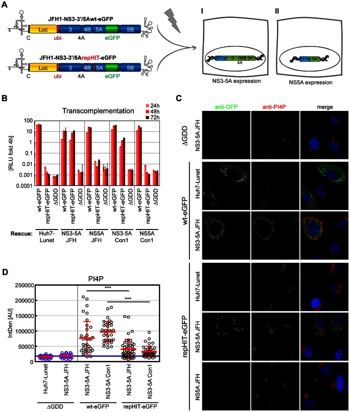 New PI4P pools emerge as a consequence of HCV RNA replication. A: Scheme of the transcomplementation experiments shown in panel B–D: Huh7-Lunet cells constitutively expressing HCV NS3 to NS5A (I) or NS5A (II), respectively, were transfected with reporter replicons containing luciferase and eGFP genes as indicated to analyze for conditions rescuing RNA replication. B: Wiltype (wt-eGFP), repHIT (repHIT-eGFP) and ΔGDD reporter replicons of genotype 2a (JFH-1) were transfected into Huh7-Lunet cell lines constitutively expressing NS3-5A or NS5A of genotype 1b or 2a, as indicated. RNA replication of replicons was determined by measuring luciferase activity in cell lysates at 24 h, 48 h and 72 h post transfection relative to 4 h to normalize for transfection efficiency. Diagrams show mean values +/−SD of a representative of two experiments performed in duplicates. C. Immunofluorescence analysis of the experiment shown in panel B at 48 h post electroporation. GFP (green) or PI4P (red), respectively, was detected with specific antibodies and DAPI was used to stain nuclei (blue). D. Quantitation of intracellular PI4P levels by measuring PI4P fluorescence intensity using ImageJ analysis (IntDen read-out) on cells as shown in panel C. Data represent mean arbitrary units (AU) +/− SD of 35 GFP positive cells analyzed per condition. In case of ΔGDD, cells were randomly chosen due to the lack of GFP signals. Significance was calculated by a paired students t-test. ***, p