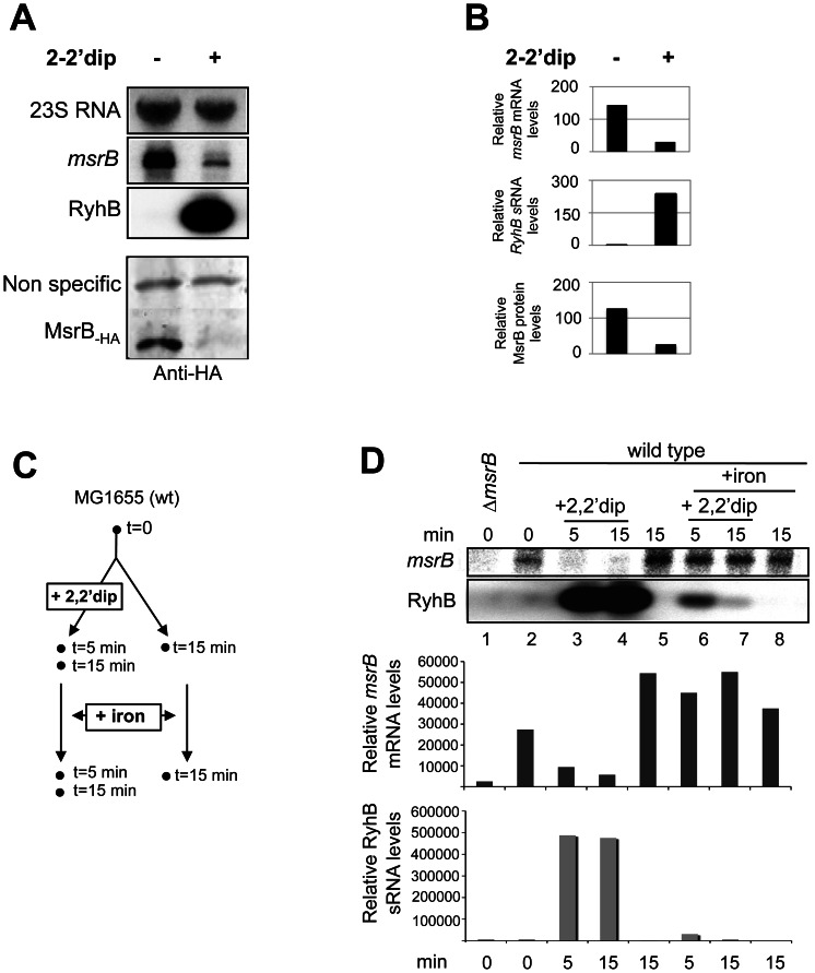 RyhB-dependent down-regulation of msrB mRNAs and proteins. (A) Cultures containing a wild type strain of E. coli were grown to an O.D. 600 value of 0.5 then 250 μM 2,2′dip was added. After 30 min of incubation with 2,2′dip, total RNA and proteins were extracted in parallel, giving total RNA used for the Northern blots (top panel) and soluble protein fraction used for Western blot (bottom panel). The same membrane was probed successively for msrB mRNA, RyhB, and 23S RNA (loading control) (top panel). MsrB proteins were probed with anti-HA antibodies (bottom panel). The radioactive probes used are described in Materials and Methods , and Table 1 . (B). Quantification of msrB mRNA, RyhB sRNA and MsrB protein levels (arbitrary units) from experiment described in (A). Band intensity was normalized to that of an internal control (23S for both msrB and RyhB RNA bands; a non-specific protein recognized by anti-HA antibodies for MsrB-HA protein band). (C). Overview of the experiment described in D. Total RNA was extracted at the indicated times (min). (D). Wild type E. coli cells were grown in LB (lanes 1,2,5), LB + 2,2′dip (250 μM) (lanes 3,4). Iron (100 μM) was added after 15 min of growth in LB (lane 8) and after 5 or 15 min of pre-incubation with 2,2′dip (lanes 6–7). Samples were removed at indicated time points, and total RNA was extracted as described in Materials and Methods . Strain SMG505 (Δ msrB ) was used as a control (lane 1). For determination of RyhB and msrB RNA amounts, 10 μg of total RNA samples were loaded onto a denaturating agarose gel. After migration, a Northern blot hybridization was performed with a specific oligoprobe for RyhB and msrB respectively. Quantification of msrB and RyhB transcript levels (arbitrary units) are shown below Northern blots panels.