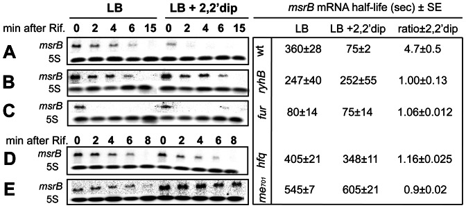 Effects of ryhB , fur , rne701 and hfq mutations on msrB transcript stability. msrB transcript stability in wild type (A), ryhB mutant (B), fur mutant (C), hfq mutant (D) and rne701 mutant (E) strains grown at 37°C to an O.D. 600 of 0.4, was assayed by Northern blot analysis. After 10 min of incubation with 2,2′dip, rifampicin was added. Samples were removed at the indicated time points after rifampicin addition and total RNA was extracted as described in Materials and Methods . For determination of msrB mRNA amount, 10 μg of total RNA samples were loaded onto a denaturating agarose gel. After migration, a Northern blot hybridization was performed with a specific oligoprobe for msrB and 5S as an internal control. Band intensity of msrB transcript was normalized to that of 5S RNA. Half-life (seconds) of msrB transcript and the ratio of msrB mRNA half-life ±2,2′dip are indicated for the different strains. Standard errors (SE) are shown.