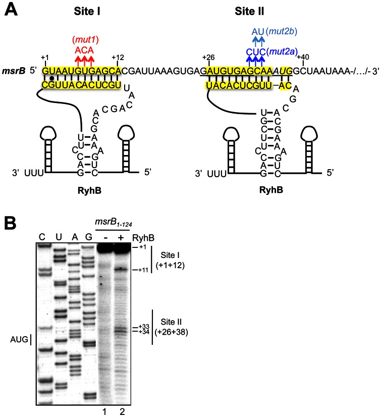 RyhB binds msrB mRNA at two sites. Panel (A) shows the predicted interactions between RyhB and the msrB sense strand referred as Site I and Site II (in yellow). The predicted ribosome-binding site for msrB is underlined. The start codon for msrB is shown underlined and in italics. Mutations in Site I and Site II are shown in red and blue respectively. (B) cDNA extension experiments with wild type msrB 1–124 as a template for the reverse transcriptase. Lane 1: extension with no other component added; lane 2: extension with RyhB alone. C, U, A, and G are sequencing lanes obtained using the same radiolabeled primer as in the reverse extension analysis. Reverse transcriptase stops are indicated at positions +11, +33 and +34. Nucleotides involved in Sites I and II are indicated as thin vertical lines. The transcription start of msrB is referred to as the position + 1. The numbers on the left indicate sequence positions with respect to the transcription start.