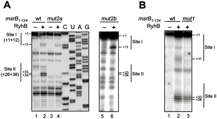 Mutagenesis analysis of the RyhB/ msrB interaction in vitro . (A–B) Autoradiograms of primer extension analysis of msrB mRNA are shown (for details, see Materials and Methods , and Results). (A) with wild type (lanes 1–2), mut2a (lanes 3,4) and mut2b (lanes 5,6) msr B 1–124 transcripts as a template for the reverse transcriptase. Lanes 1,3 and 5: extension with no other component added; lanes 2,4 and 6: extension with RyhB. C, U, A, and G are sequencing lanes obtained using the same radiolabeled primer as in the reverse extension analysis. (B) cDNA extension experiments with wild type (lanes 1–2) and mut1 (lane 3) msr B 1–124 transcripts as templates for the reverse transcriptase. Lane 1: extension with no other component added; lanes 2–3: extension with RyhB. For (A) and (B), reverse transcriptase stops are indicated at positions +11, +33 and +34. Thin vertical lines indicate nucleotides involved in Site I and Site II. The transcription start of msrB is referred to as the position + 1. The numbers to the left indicate sequence positions with respect to the transcription start site.