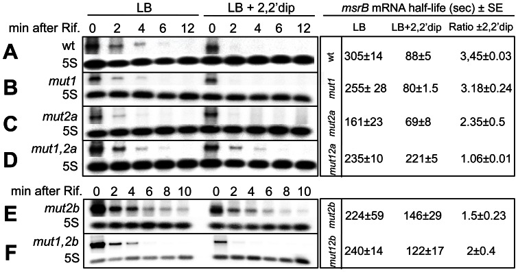 Effect of mutations in RyhB-binding Sites I and II on msrB mRNA stability. Northern blot analysis of wild type msrB (A), msrB mut1 (B), msrB mut2a (C), msrB mut1,2a (D), msrB mut2b (E), and msrB mut1,2b (F). Strains were grown at 37°C to an O.D. 600 of 0.4. After 10 min of incubation with 2,2′dip, rifampicin was added. Samples were removed at the times indicated after rifampicin addition and total RNA was extracted as described in Materials and Methods . Half-life of msrB mRNA was calculated with or without iron chelator. For determination of msrB mRNA amount, 10 μg of total RNA samples was loaded on a denaturating 1.2% agarose gel. After migration, a Northern blot hybridization was performed with a specific oligoprobe for msrB and with 5S as a loading control. Half-life (seconds) of msrB mRNA (wild type and mutants) and the ratio of msrB mRNA half-life ±2,2′dip, are indicated. Band intensity of msrB transcript was normalized to that of 5S RNA.