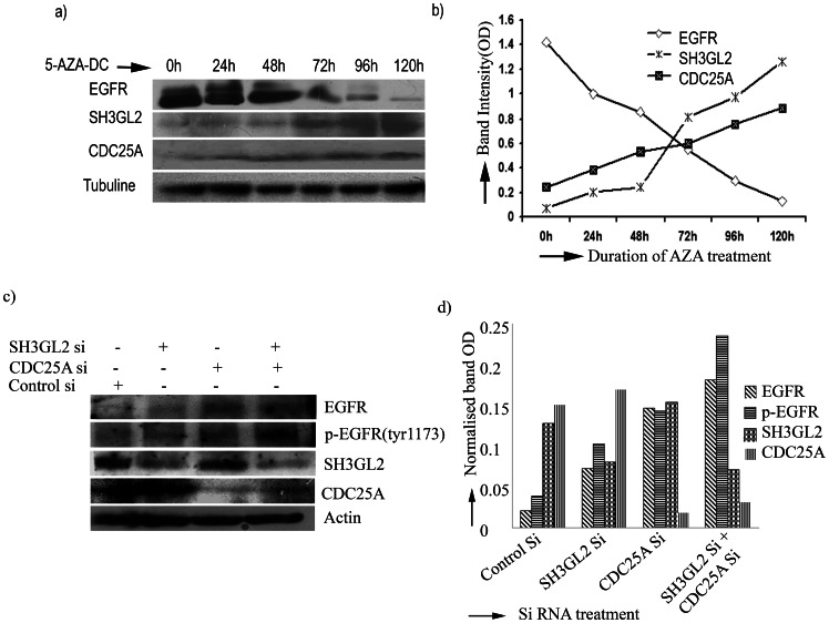 SH3GL2 and CDC25A mediated EGFR homeostasis. a) EGFR was degraded due to upregulation of SH3GL2 and CDC25A by 5-aza-dc treatment. Hep2 cell line was incubated with 20 µm of 5-aza-dc up to 120 h. Cells were harvested after zero hour of treatment and then every 24 h interval. Equal amounts of protein were subjected to western blotting. The amount of EGFR protein decreased gradually and degradation was maximum after 120 hour. Similarly, the expression of SH3GL2 and CDC25A was gradually increased after treatment. b) The amount of proteins (normalized band OD) was plotted as a function of time of 5-aza-dc treatment. The intensity of the bands were determined by densitometry and normalized with tubulin. c) SCC084 cell line was treated with siRNA of CDC25A and SH3GL2. Protein expression of the genes were analysed by western blot. Expression of EGFR and phosphorylated EGFR were assayed during knock down either of SH3GL2 and CDC25A or of both. Both EGFR and p-EGFR level was up regulated due to reduction of SH3GL2 and CDC25A. d) The amount of proteins (normalized band OD) was plotted. The intensity of the bands were determined by densitometry and normalized with actin. The bar diagram showing the level of EGFR and p-EGFR up regulation during siRNA treatment of SH3GL2 and CDC25A.