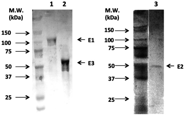 SDS-PAGE analysis of each purified KGDH subunit. The purified E1, E2, and E3 proteins were analyzed by SDS-PAGE with silver staining. Lane 1: E1 purified by Strep-Tactin agarose gel, lane 2: E3 purified by anti-FLAG M2 antibody agarose gel, lane 3: E2 purified by TALON affinity gel.