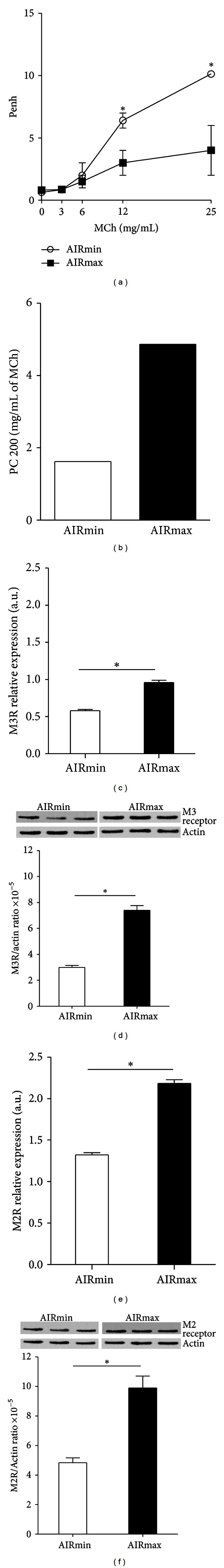 Respiratory pattern and expression of muscarinic receptors in AIRmin and AIRmax mice. Respiratory pattern was determined in awake, unrestrained mice by noninvasive whole-body barometric plethysmography. (a) Penh values were used as an index of bronchoconstriction induced after sequential delivery of increasing concentrations of MCh (3, 6, 12, and 25 mg/mL) and (b) provocative concentration of aerosol MCh at a 200% increase (PC200) over baseline values. Gene (c and e) or protein (d and f) expression of M2 and M3 muscarinic receptors was evaluated by real-time PCR or Western blot analysis in lungs from AIRmin and AIRmax mice. Real-time PCR was carried out using  β -actin gene expression as internal control for normalization of M3R (c) and M2R (e) mRNA transcription levels. All PCR reactions were quantitative reactions made by real-time PCR. In Western blot analysis the density of M3R (d) and M2R (f) protein expression was nor aerosol at a malized to actin expression in each sample. Western blots were quantified by densitometry using the ImageJ software (NIH). Real-time PCR and Western-blot analyses were performed using pooled lungs from 5 mice. Data are expressed as mean ± SEM of five mice per group and are representative of three experiments; * P