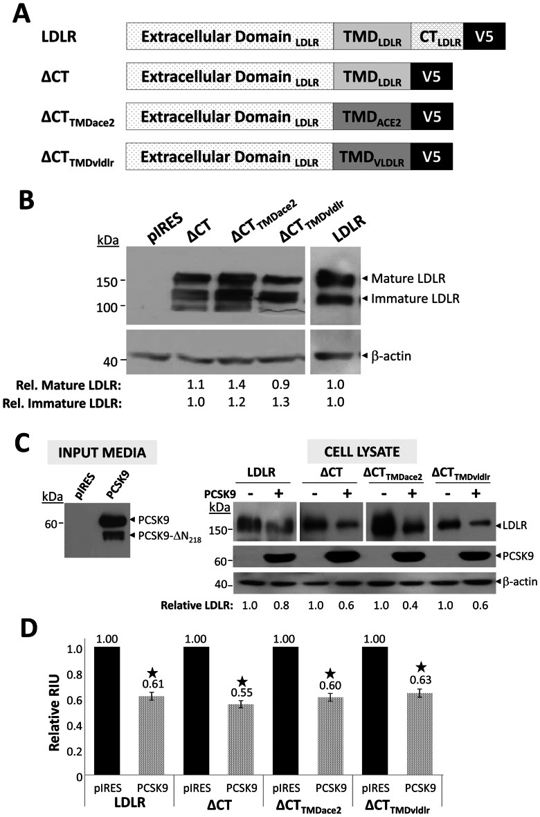 PCSK9 acts on the LDLR independent of the receptor's CT and TMD. A ) Generation of chimeric truncated LDLR-V5 constructs. Schematic representation of the LDLR, LDLR lacking its CT (ΔCT), and ΔCT in which the LDLR TMD was swapped with that of ACE2 (ΔCT TMDace2 ) or VLDLR (ΔCT TMDvldlr ). All constructs contained a C-terminal V5-tag. B ) Expression in HEK293 cells. WT and chimeric LDLR constructs were transfected in HEK293 cells. Construct expression was assessed by immunoblotting with mAb-V5. Both mature and immature forms of the LDLR were detected. β-actin was used as a loading control. C) PCSK9 induces LDLR degradation independent of the LDLR's CT and TMD. LDLR, ΔCT, and the ΔCT TMDace2 and ΔCT TMDvldlr chimeric constructs were expressed in HEK293 cells. Twenty-four hours post-transfection, the cells were treated overnight with empty vector control pIRES-V5 or PCSK9-V5 conditioned media, which contains both full length PCSK9 and its furin cleaved product at Arg 218 , PCSK9-ΔN 218 [33] . Cells were lysed in 1x RIPA and subjected to Western blot analysis. LDLR and PCSK9 were detected with mAb-V5. β-actin was employed as a loading control. The ability of PCSK9 to induce degradation of the LDLR constructs was quantified using NIH ImageJ software and calculated relative to treatment with pIRES conditioned media. Data are representative of at least three independent experiments. D ) PCSK9 reduces cell surface LDLR levels independent of the receptor's CT and TMD. To assess the ability of PCSK9 added exogenously to HEK293 cells expressing the LDLR or its chimeric constructs, transfected cells were treated overnight with empty vector control pIRES-V5 or PCSK9-V5 conditioned media. Subsequently, surface LDLR was quantified by FACS analysis. The values obtained after treatment with PCSK9 are represented graphically relative to treatment with control pIRES. Data are representative of at least three independent experiments. Error bars represent SEM. *, p