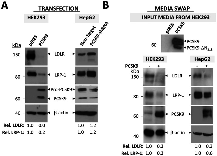 PCSK9 induces degradation of LRP-1. A ) PCSK9 transfection. HEK293 cells were transfected with PCSK9-V5 or empty control pIRES-V5 vector prior to being lysed in 1x RIPA. LDLR and LRP-1 levels were examined by Western blot in these cells, as well as in HepG2 cells stably expressing PCSK9-shRNA. PCSK9 levels were assessed using mAb-V5 in HEK293 cells and an anti-PCSK9 antibody in HepG2 cells. The levels of LDLR and LRP-1 were estimated relative to β-actin. Data are representative of at least three independent experiments. B ) PCSK9 media swap. Conditioned serum-free media collected from HEK293 cells transfected with PCSK9-V5 or empty control pIRES-V5 vector was collected and applied to naive HEK293 or HepG2 cells. The effect of exogenous PCSK9 on LDLR and LRP-1 was assessed by Western blotting with anti-hLDLR and LRP-1 antibodies respectively. Cell-associated PCSK9 was measured using mAb-V5. The relative intensities of LDLR and LRP-1 were normalized to β-actin using NIH ImageJ software. Data are representative of at least three independent experiments.