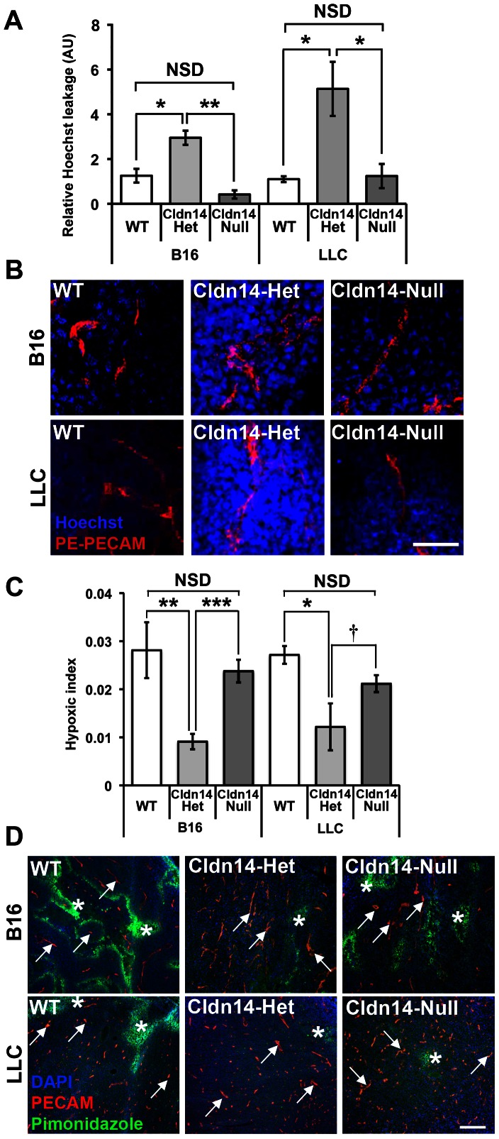 Heterozygosity for Cldn14 increases tumour blood vessel leakage and decreases intratumoural hypoxia. Wild-type, Cldn14-heterozygous and Cldn14-null mice were injected subcutaneously in the flank with 0.5×10 6 B16F10 melanoma or Lewis Lung Carcinoma (LLC) cells. ( A ) At 10 days post inoculation, PE-conjugated anti-PECAM antibody and Hoechst dye were injected via the tail vein prior to sacrifice. Midline sections (100 µm) of snap-frozen tumours were fixed, mounted and imaged using a Zeiss <t>LSM</t> 510 confocal microscope. The extent of Hoechst leakage was measured in z-stacks using ImageJ. Bars show mean Hoechst leakage relative to PECAM signal ± SEM. Blood vessel leakage is increased significantly in Cldn14-het mice when compared with WT and Cldn14-null mice. ( B ) Representative images of Hoechst (blue) and PECAM (red) detection. ( C ) Tumour-bearing mice from each genotype were injected with pimonidazole prior to sacrifice to measure hypoxic areas within the tumour. 8 µm tumour cryosections were then double stained with anti-pimonidazole antibody (green) to highlight hypoxic areas and anti-PECAM antibody to identify blood vessels. The hypoxic index was quantified relative to PECAM staining using image J software. Bars represent mean relative hypoxic index ± SEM. ( D ) Representative images of pimonidazole detection and PECAM-positive blood vessels in tumour sections. Arrows , blood vessels; Asterisks , pimonidazole-positive staining. Scale bars: A 50 µm; D 200 µm. N = 4 tumours per genotype. NSD: not statistically different, * P