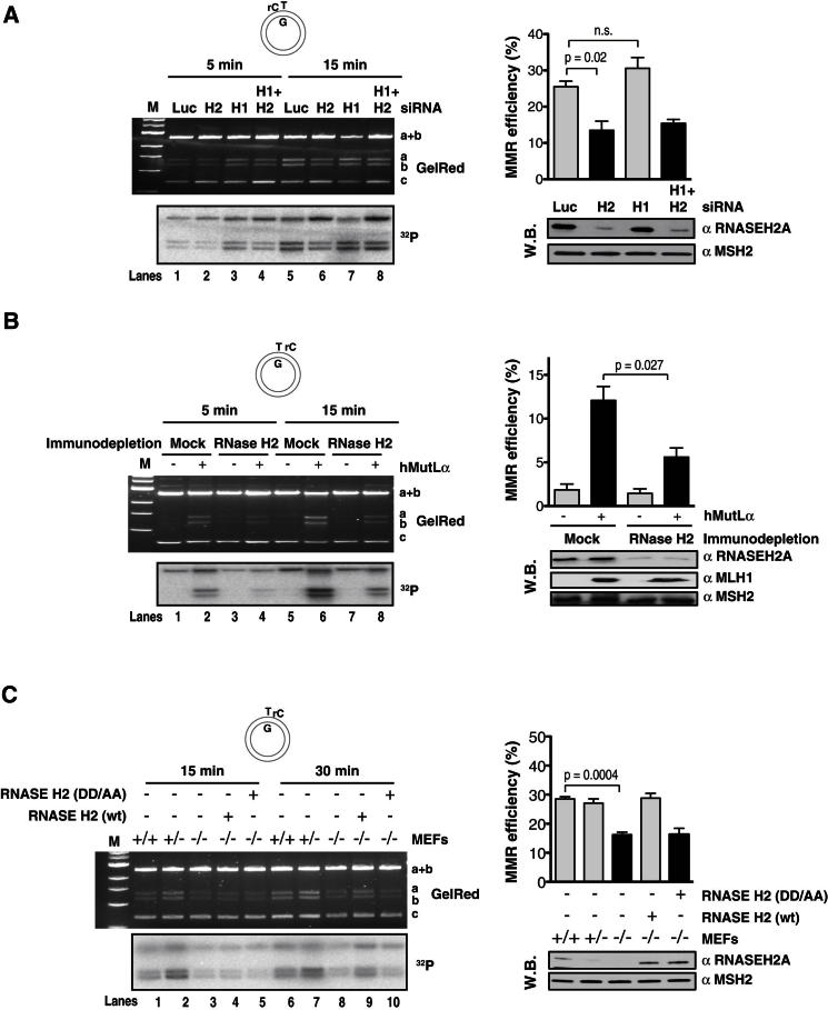 RNase H2-Activated MMR in Human and Mouse Nuclear Extracts (A) RNASEH2A knockdown decreases MMR activity on the rC-T/G heteroduplex. (Left panels) Efficiency of the mismatch repair reaction at 5 and 15 min time points in extracts of 293 cells transiently transfected with the indicated siRNAs. The figure shows an agarose gel image (GelRed) and autoradiograph ( 32 P) of a representative experiment. (Top right) Plot of data from the 15 min time points of three independent experiments, with error bars representing standard deviation from the mean. (Bottom right) Western blot showing siRNA-mediated knockdown efficiency of RNASEH2A in 293 cells. Luc, siRNA against luciferase control; H1, H2a, H1+H2a, siRNAs against RNase H1, H2a, or both. (B) Immunodepletion of RNase H2 decreases MMR activity on the T/G-rC heteroduplex. (Left panels) MMR assay carried out in extracts of 293T cells immunodepleted of RNase H2. The figure shows an agarose gel image (GelRed) and autoradiograph ( 32 P) of 5 and 15 min time points of a representative experiment. (Top right) Plot of data from the 15 min time points of three independent experiments, with error bars representing standard deviation from the mean. (Bottom right) Immunodepletion of RNase H2 and supplementation of 293T extracts with recombinant MutLα. This western blot shows the efficiency of the immunodepletion procedure and the amounts of recombinant MLH1 relative to endogenous MSH2 levels. (C) Extracts of RNase H2 knockout mouse embryonal fibroblasts display decreased MMR activity on the T/G-rC heteroduplex at the 15 and 30 min time points. (Left panel) An agarose gel image (GelRed) and autoradiograph ( 32 P) of a representative experiment. (Top right) Plot of data from the 30 min time points of three independent experiments, with error bars representing standard deviation from the mean. (Bottom right) Western blot showing the amount of RNASEH2A in the MEFs as well as the amount of recombinant RNase H2 protein added to restore the 