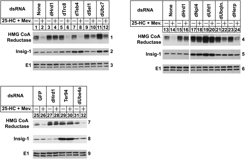 "Components of the ERAD pathway required for proteasomal degradation of hamster HMG-CoA reductase in  Drosophila  S2 cells. S2 cells were set up on day 0 in 6-well plates at a density of 1 × 10 6  cells per well in medium B. Immediately after plating, cells were incubated with 15 μg of dsRNA targeted against the indicated endogenous mRNAs. Following incubation for 1 h, the cells received 2 ml of medium C supplemented with 10% HI-LPDS. On day 1, cells were washed and transfected in medium B with 0.5 μg of pAc-HMG-Red-T7 (TM1-8) and 0.1 μg pAc-Insig-1-Myc in medium B using Maxfect™ Transfection Reagent as described in Materials and Methods. On day 2, each well received 1 ml of medium B supplemented with 20% HI-LPDS. Cells were treated on day 3 with medium C supplemented with 10% HI-LPDS in the absence or presence of 2.5 μM 25-HC plus 10 mM mevalonate (Mev.). Following incubation for 4 h, cells were harvested and lysed in detergent-containing buffer; aliquots of the resulting lysates (50 μg of protein/lane) were separated by 10% SDS-PAGE, the proteins were transferred to nitrocellulose membranes, followed by immunoblot analysis with anti-T7 IgG (against reductase), IgG-9E10 (against Insig-1), and anti-E1 IgG. The numbers to the side of immunoblots are referred to as ""panels"" in the text. Immunoblots shown in panels 4–6 were cropped from the same gel exposed to film for an identical period of time."