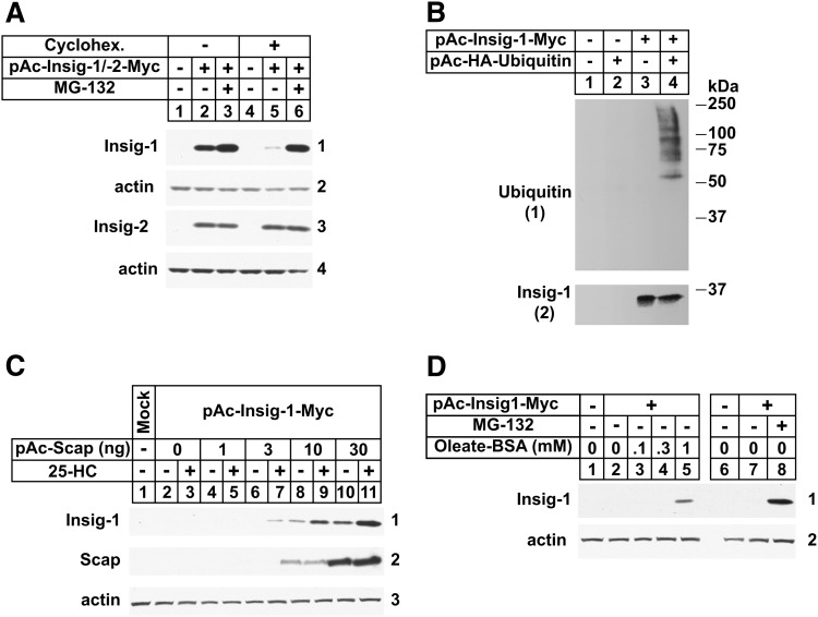 Reconstitution of lipid-regulated ERAD of mammalian Insig-1 in Drosophila S2 cells. S2 cells were set up in 6-well plates on day 0 at 1 × 10 6 cells per well in medium A supplemented with 10% HI-FCS. On day 1, cells were transfected in medium B using Maxfect™ as follows. A: 0.1 µg of pAc-Insig-1-myc or 0.1 µg of pAc-Insig-2-myc. B: 0.2 µg pAc-Insig-1-Myc in the absence or presence of 1.0 µg pAc-HA-ubiquitin. C: 0.1 µg of pAc-Insig-1-myc and 1, 3, 10, or 30 ng of pAc-Scap. D: 0.1 of µg pAc-Insig-1-myc. Total amount of DNA was adjusted to 0.1 μg (A, D), 1.2 μg (B), or 0.13 μg (C) using empty pAc5.1 vector. On day 2, each well received 1 ml of medium B supplemented with 20% HI-LPDS (A–C) or HI-DFCS (D). Cells were treated on day 3 with medium C supplemented with 10% HI-LPDS (A–C) or HI-DFCS (D) under the following conditions. A: In the absence or presence of 10 μM MG-132 (6 h) and 50 μM cycloheximide (2 h). B: In the presence of 10 µM MG-132 (2 h). C: In the absence and presence of 2.5 μM 25-HC and 10 mM mevalonate (4 h) together with 50 μM cycloheximide (2 h). D: In the absence and presence of 10 μM MG-132 (6 h) or 0.1, 0.3, or 1 mM BSA-oleate (4 h) together with 50 μM cycloheximide (2 h). A, C, D: Following incubations, cells were harvested and aliquots of whole cell lysates [30 μg protein/lane (A), 40 μg protein/lane (C), 50 μg protein/lane (D)] were subjected to 10% SDS-PAGE followed by immunoblot analysis with IgG-9E10 (against Insigs), IgG-9D5 (against hamster Scap), and anti-actin IgG. B: Following incubation, the cells were harvested for preparation of detergent lysates that were immunoprecipitated with 60 µl anti-Myc coupled agarose beads. Aliquots of the immunoprecipitates were then subjected to SDS-PAGE followed by immunoblot analysis with anti-HA (against ubiquitin) and IgG-9E10 (against Insig-1). The numbers to the side of immunoblots are referred to as panels in the text.