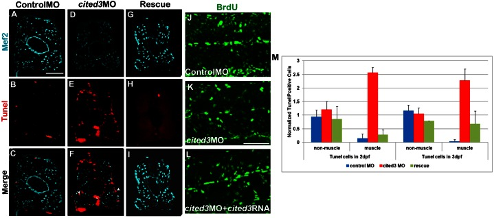 Knockdown of cited3 results in increased cell death but it does not affect proliferation. Embryos that are injected with the control MO ( A–C ), cited3 MO ( D–F ), cited3 MO + cited3 RNA ( G–I ) were fixed at 2 dpf and immunostained with anti-Mef2 antibody (A,D,G) and TMR red in situ cell death detection kit (B,E,H). Tunel positive cells were counted in non-muscle cells as well as in muscle cells in each group of embryos from 50–100 sections obtained from trunk and tail somites. More apoptotic muscle cells were detected in embryos that are injected with the cited3 MO and fixed at 2 dpf and 3 dpf ( M ). Values were normalized compared to cited3 morphant values. Similarly, embryos injected with the control MO ( J ), cited3 MO ( K ), cited3 MO + cited3 RNA ( L ) was pulsed with BrdU from 30 hpf to 42 hpf, and were fixed and immunostained with anti-BrdU and MF20 antibodies (images of 16 th –18 th somites). There is no significant difference between the three treated groups (J,K,L) when the BrdU-positive muscle cells were counted (data not shown). Scale bars: 25 µm in A and 50 µm in K.