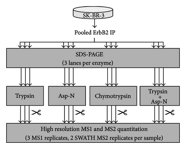 Workflow for ErbB2 targeted proteomics using multiprotease digestion and high resolution mass spectrometry quantitation. ErbB2 immunopurified from four 15 cm plates of untreated SK-BR-3 cells was pooled into a single sample. The sample was split into 12 aliquots and separated by SDS-PAGE. Triplicate in-gel digestion was performed using either trypsin, Asp-N, chymotrypsin, or a double digestion with trypsin plus Asp-N. Each sample was analyzed using an AB SCIEX <t>TripleTOF</t> 5600 mass spectrometer. Two approaches for high resolution LC-MS/MS quantitation were employed, MS1 Filtering and SWATH MS2 acquisition.