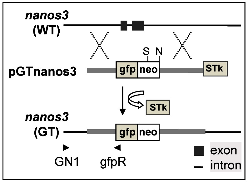 Schematic nanos3 gene targeting in medaka ES cells. arrowhead, positions and extension directions of PCR primers for genotyping; cross, HR region: gfp:neo, cassette that expresses the fusion between GFP and Neo; STk, the cassette expresses HSP-tk; S, SphI.