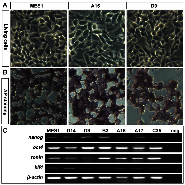 Retention of pluripotency in vitro . (A) Phenotype of growing ES cells of parental MES1 and nanos3 -targeted clones. (B) AP staining of parental MES1 and nanos3 -targeted clones. (C) Expression of pluripotency genes in parental MES1 and nanos3 -targeted clones (numerals on lanes). neg, negative control without cDNA template.