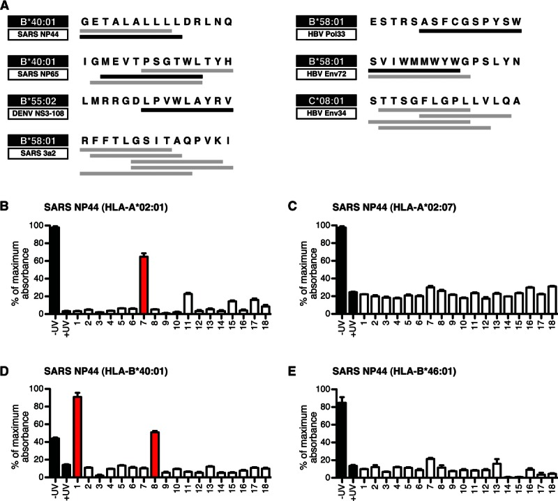 Peptide binding to Asian HLA variants. (A) Seven 15-mer peptides capable of stimulating T-cells reactive toward SARS-CoV, HBV, or DENV antigens were discovered by ELISPOT screening. All 18 possible 9-, 10-, and 11-mer truncated peptides imbedded in the 15-mer epitope that either tested positive in the HLA-stability assay (gray bars) or gave HLA tetramer staining (black bars) are indicated below the sequence. Numbering of the peptide fragments is provided in Supporting Information Fig. 3A . (B) Soluble HLA-A*02:01 molecules were ligand exchanged with truncated peptides from SARS NP44 15-mer peptide. The resulting complexes were captured on streptavidin-coated plates and probed for β2m as a marker for HLA complex stability. As controls, the photocleavable HLA molecules were treated with (+) or without (–) UV irradiation in the absence of rescue peptide (black bars). Peptides are labeled as capable (red bars) or incapable (white bars) of stabilizing the corresponding HLA. (C) Stabilization of soluble HLA-A*02:07 by truncations of the SARS NP44 15-mer peptide was assessed as in (B). (D) Stabilization of soluble HLA-B*40:01 by truncations of the SARS NP44 15-mer peptide was assessed as in (B). (E) Stabilization of soluble HLA-B*46:01 by truncations of the SARS NP44 15-mer peptide was assessed as in (B). (B–E) Data are shown as mean + SEM of four replicates.