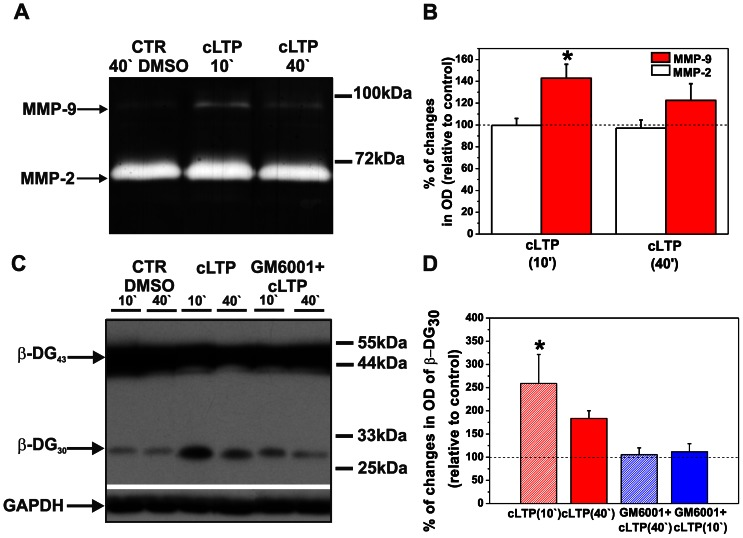 cLTP increases endogenous MMP-9 but not MMP-2 activity and increases β-DG cleavage by MMP-9. ( A ) Cortical neurons were exposed to the F/R/P mixture for 10 and 40 min, and gelatinase activity (MMP-9 and MMP-2) was then assayed. A representative gel zymogram shows enhanced MMP-9 activity compared with controls at 10 min, which was followed by a decrease at 40 min of cLTP stimulation. Notice that the enzymatic activity of MMP-2 did not change during cLTP. ( B ) Column bars present the quantification (mean ± SEM) of MMP-9 and MMP-2 activity 10 and 40 min after F/R/P treatment relative to control (DMSO-treated cells). Student's t-test revealed a significant increase in the level of total amount of MMP-9 at 10 min. The level of MMP-9 did not significantly differ from controls after 40 min of cLTP. Student's t-test did not reveal significant changes in the total amount of MMP-2 compared to control after 10 and 40 min of cLTP. ( C ) Cortical neurons were exposed to the F/R/P mixture, and β-DG cleavage was then tested by Western blot. A representative Western blot shows enhanced proteolysis of β-DG 10 min after stimulation compared with controls. Forty minutes of cLTP stimulation decreased the level of the cleaved form of β-DG. Blocking MMP activity with GM6001 led to a further decline of β-DG cleavage. Control cells were incubated with DMSO. Glyceraldehyde-3-phosphate dehydrogenase (GAPDH) served as the loading control. (D) Column bars indicate results of relative densitometric analysis of β-DG cleavage 10 and 40 min after F/R/P treatment relative to control (DMSO-treated cells). Students t-test showed statistically significant increase in cleaved form β-DG at 10 in of cLTP. Students t-test failed to reach significance for β-DG cleavage at 40 min of F/R/P exposure and for cLTP stimulation in the presence of MMP inhibitor, GM6001. Results are mean ± SEM, n = 3, * p