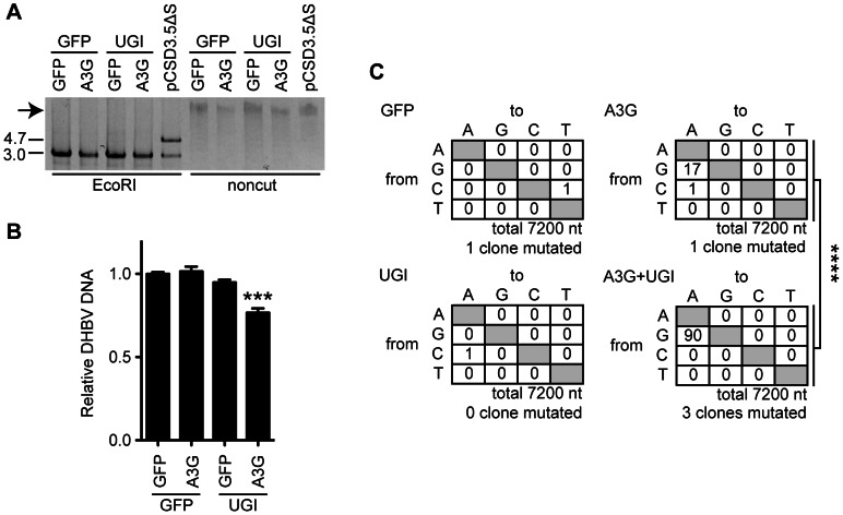 UNG inhibition decreases the replication activity of DHBV cccDNA in the presence of A3G expression. (A) RCA products from the cccDNAs. Expression vectors of A3G, UGI, and GFP were used for transfection of LMH cells together with the pCSD3.5ΔS replicon plasmid. After 7 days of cultivation, cccDNAs were purified from the nuclear fraction by Hirt extraction and treated with DpnI to digest transfected plasmids. The cccDNAs were amplified with phi29 DNA polymerase. The DHBV replicon plasmid (pCSD3.5ΔS) was also reacted as a control. RCA concatemeric products (indicated by an arrow) were digested with EcoRI and electrophoresed on agarose gel to verify successful amplification of the 3.0-kb full-length DHBV genomic DNA (left side). The 4.7-kb fragment represents the pCSD3.5 backbone (see Figure S3A for the plasmid construct). (B) qPCR analysis to assess replication activity of reconstructed replicon plasmids. The amplified full-length genomes from cccDNA were cloned into a pCSD3.5 backbone. Resulting reconstructed clones were used to transfect LMH cells without any other vectors (see Figure S5 for the experimental design). DHBV NC-DNA was purified and quantified 3 days later. The graph shows the relative DHBV DNA level; the level of GFP transfectants was set as 1. ***P