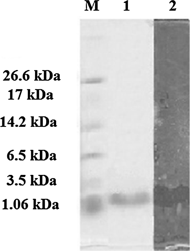 Tricine SDS-PAGE supplemented with glycerol for purified antimicrobial peptide AN5-1 produced by Paenibacillus alvei AN5. Lane 1 color marker ultra-low range (M.W. 1.06–26.6) KDa (Sigma, USA), lane 2 purified AN5-1 stained with Coomassie blue, lane 3 bacteriocin assay overlying on soft agar shows inhibitory activity of the active peptide against E. coli ATCC 29522